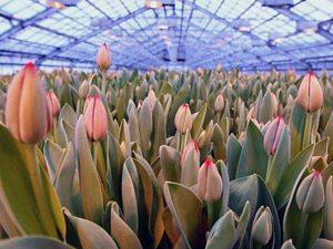 Большая теплица для выращивания тюльпанов