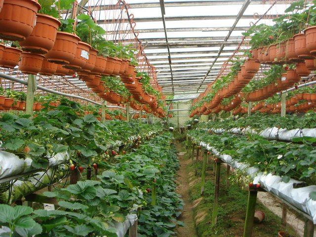 Выращивание клубники в теплице видео