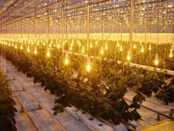 Фото подсветки: теплый спектр свечения оптимален для выращивания плодов