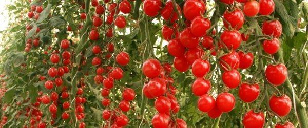 Фото помидоров скороспелых сортов