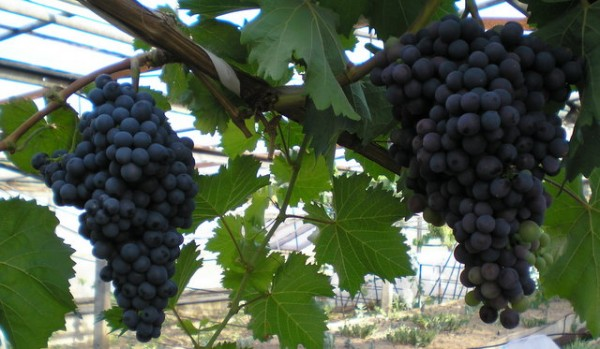 Фото поспевшего в начале июня тепличного винограда.