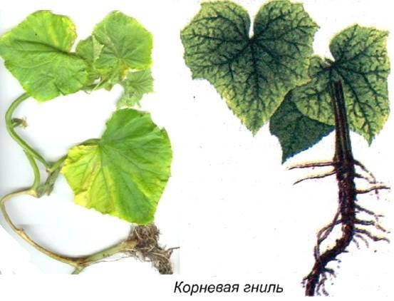 Фото растения с корневой гнилью.