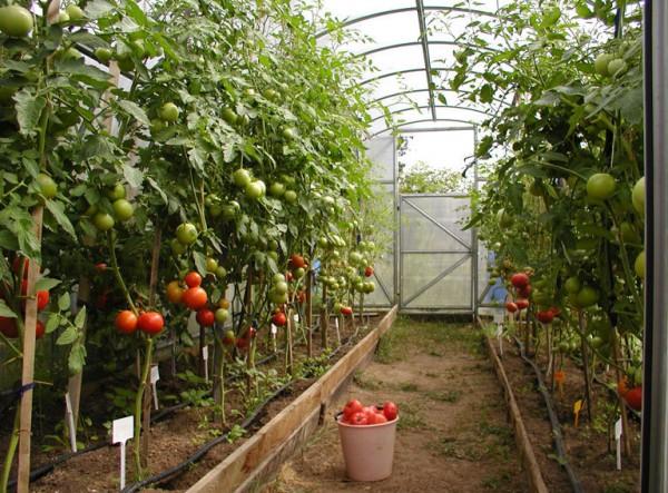 Фото томатов, выращенных в теплице.