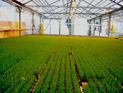 Фото зеленых полей лука в теплице