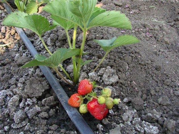 Легкие грунты идеальны для выращивания ягод