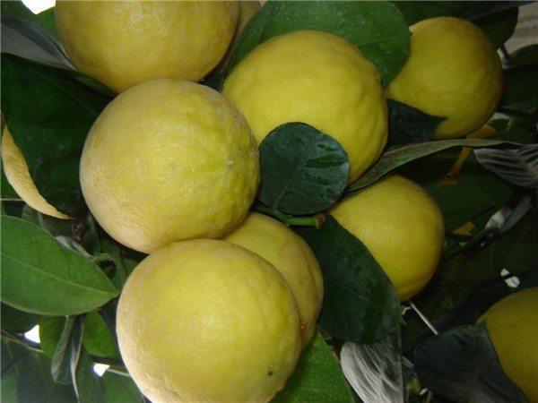 Лимоны, выращенные в теплице данного типа.
