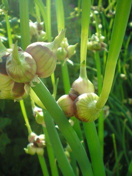 Выращивание лука на перо в теплицах: особенности посадки, ухода за культурой и сбора урожая