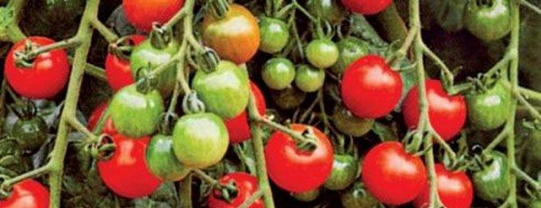 На фото - томаты сорта «Таяна».