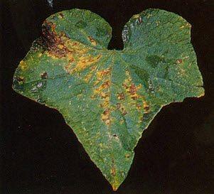 На фото – бактериоз огурца.