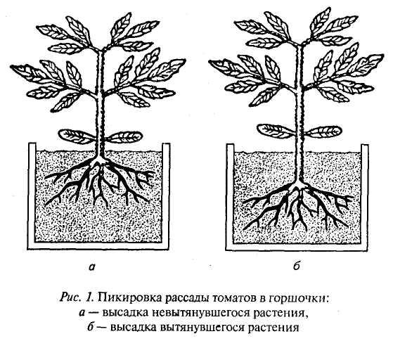 На фото изображено два варианта пикировки рассады в зависимости от ее высоты.