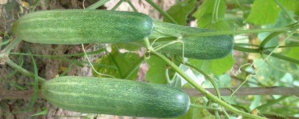 Не все сорта пригодны для выращивания в теплицах