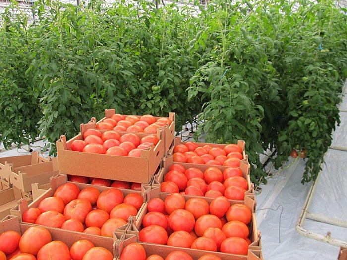 Какой сорт помидор посадить в теплице