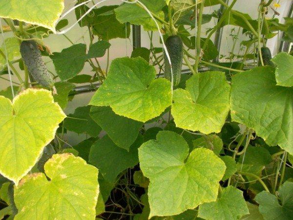 Пожелтение листьев снизу – признак недостатка питания