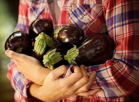 Правильная подкормка баклажанов – залог плодородности