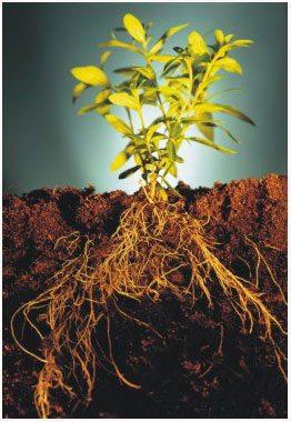 Растения-сидераты с развитой корневой системой – отличное удобрение для тепличного грунта.