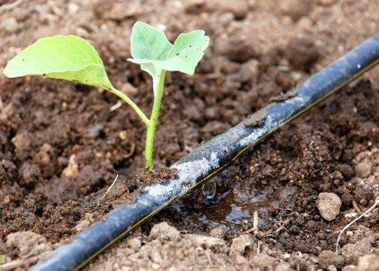 Сделайте в шланге небольшое отверстие, расположите его рядом с урожаем и вот вам готовая «поливалка»