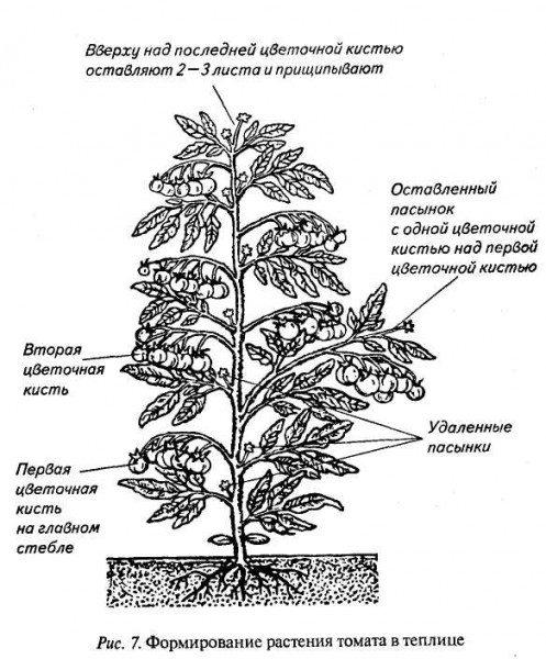 Схема формирования тепличных томатов.
