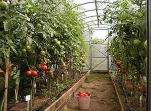 Цена же точного решения вопроса, чем обработать землю в теплице весной, вот такой урожай, который оправдает все весенние заботы