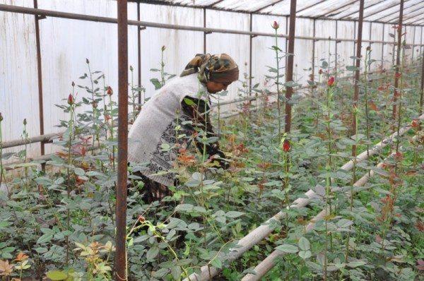 Уход за розами осуществляется вручную
