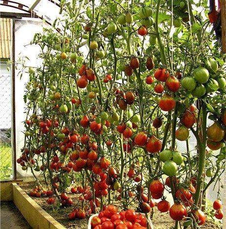 Урожайность тепличных томатов.