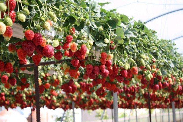 В теплице ягоды обычно зреют на весу