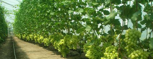 Виноград в парнике, выращенный по правильной технологии.