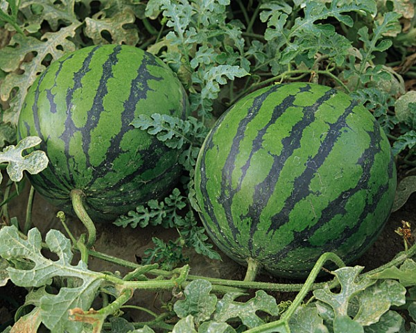 Выращивание арбузов в теплицах приобретает массовый характер.