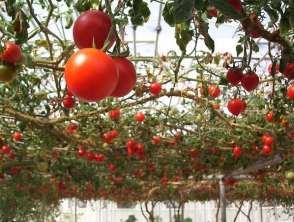Выращивание помидоров в парнике.