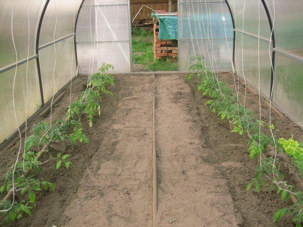 Как вырастить томаты в теплице?