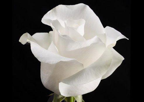 Белоснежная роза сорта «Амелия» выращивается в теплицах на срезку.