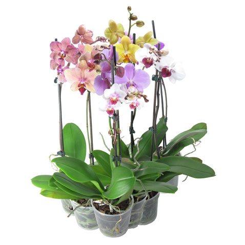 Фаленопсис – разновидность орхидей
