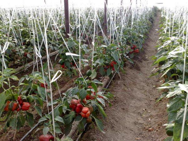 Фото перца, выращиваемого в теплице
