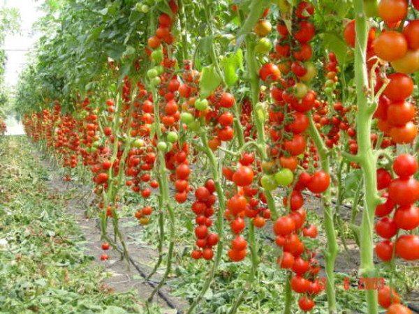 Фото помидоров-черри