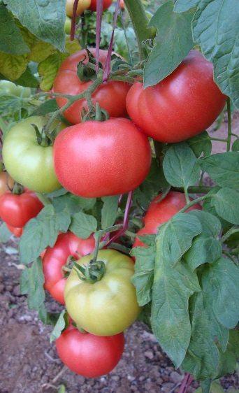 Идетерминантный сорт «Демироса 1» для выращивания в теплицах пленочного типа.