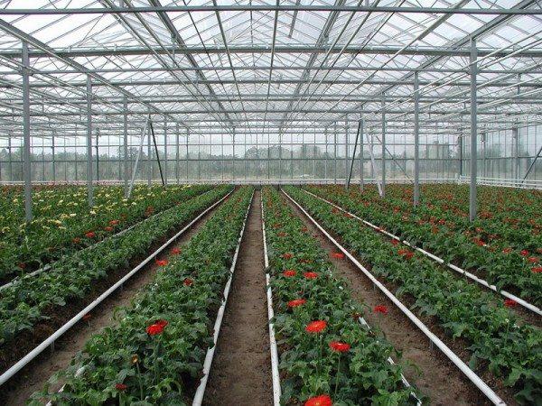 Капельный полив теплицы позволяет увеличить урожайность до 70 %