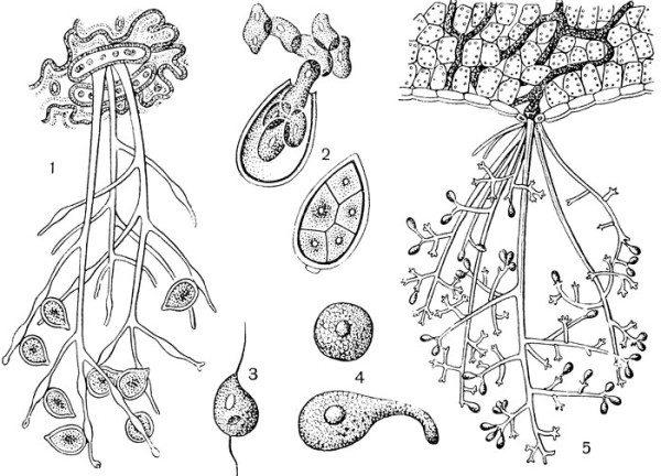 Микроскопическое строение паразита