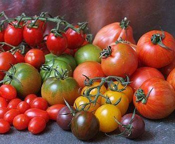Многообразие сортов томатов