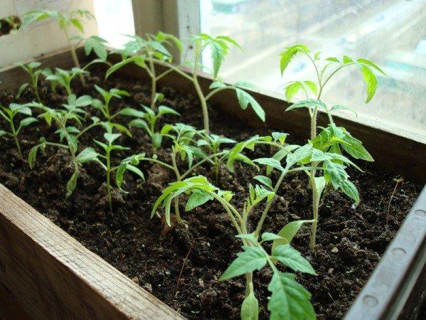 Молодые растения в рассаднике