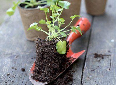 Можно ускорить процесс, высевая в теплицу не семена, а уже подращенные саженцы