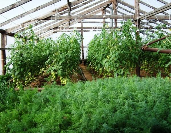 На фото – пышная растительность в теплице.