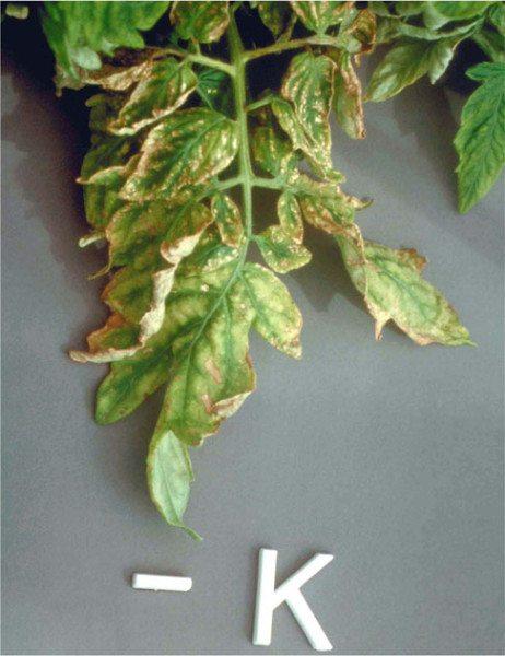 На фото изображены листья томата с признаками нехватки калия.