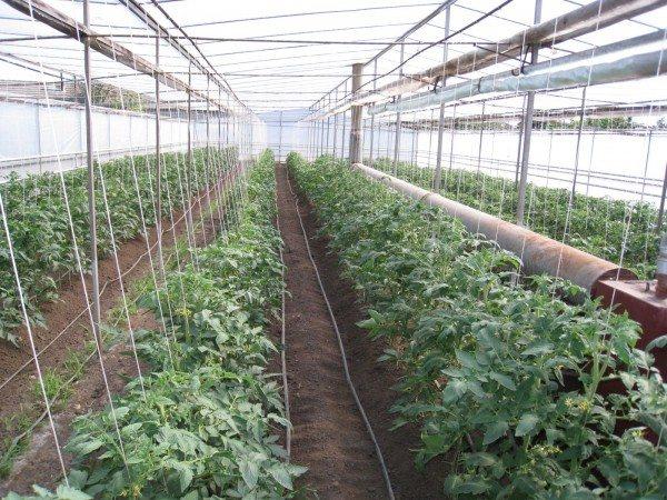 Подвязанные растения