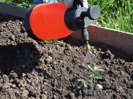 Процесс подкормки томатной рассады внекорневым методом (лечение).