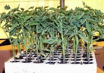 Растения в возрасте 35-40 суток