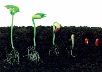 Различные фазы прорастания семян перцев.