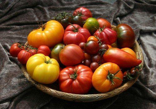 Разнообразие видов томатов – заслуга многочисленных овощеводов