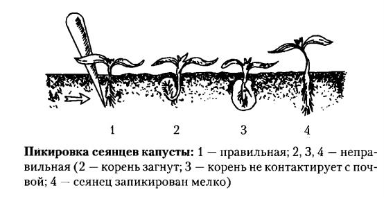 Ростки не передерживаем: высаживаем сразу после закалки, при появлении 4 листочка.