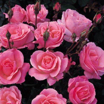 Розы сорта «Куин Элизабет».