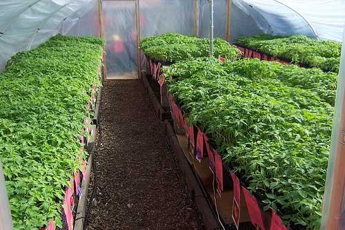 С 20 дня после посева начинается интенсивный рост томатов.