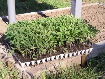 Сеянцы в рассадном ящике